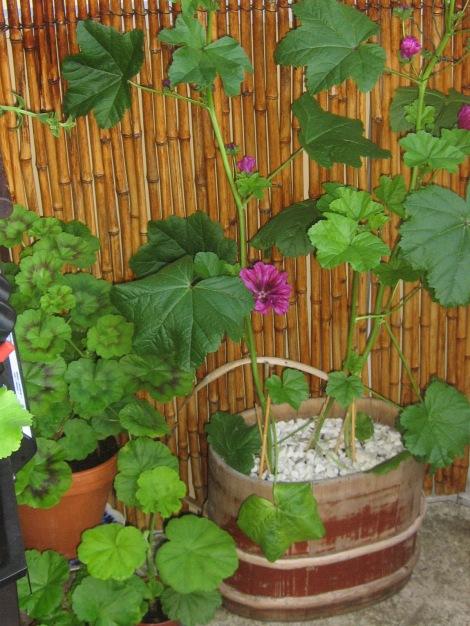Malva är lätt att odla på balkongen