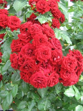 Stam-Ros hos Reda's Plantor på Rödön