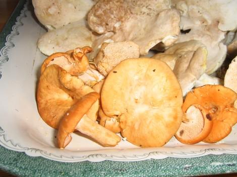 Röd Taggsvamp och Fårticka är goda svampar