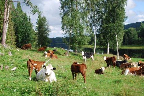 Thorsten Laxvik's djur, korsning mellan Fjällko och Hereford, ute på bete.