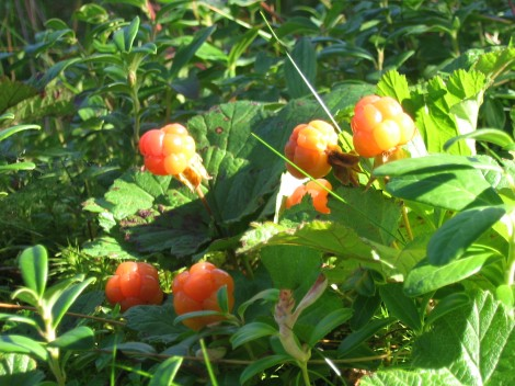 Rubus chamaemorus L. / Hjortron