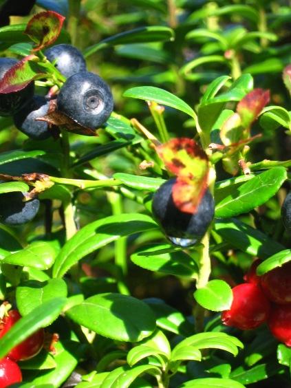Vaccinium myrtillus et Vaccinium vitis idaea