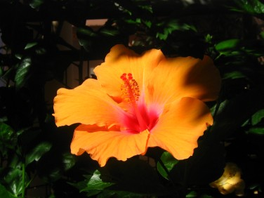 Hibiscus vid vår altan