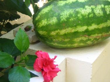 Min Syster köpte en liten vatten melon. 7,3 kg.