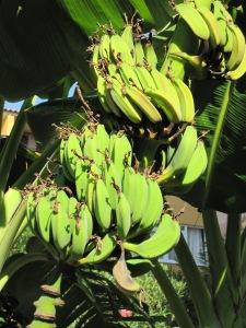 Alanya-bananer