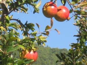 Granatäpplen