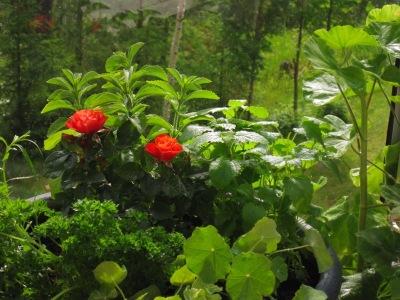 Balkongodling med Citronmeliss, Stevia, Persilja, Krasse och en vacker Ros