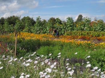 Självplock av blommor på Ås Trädgård