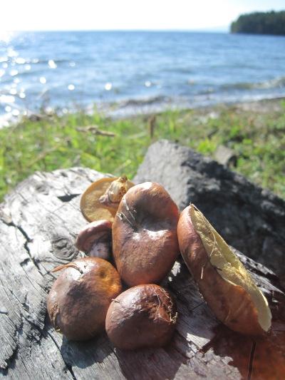 Smörsopp vid Storsjön
