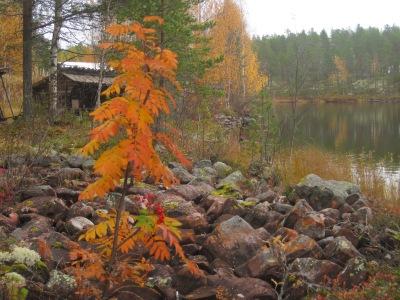 Rönn i höstfärger vid Stensbo