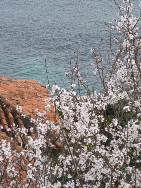 Mandelträd i blom i de gamla stadsdelarna i Alanya