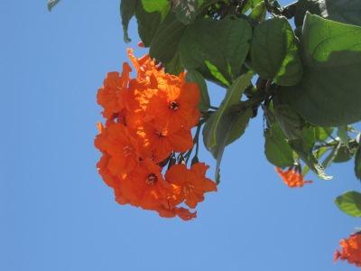 Blommande träd i Florida