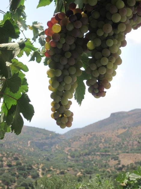 Vindruvor med Aspros Potamos-dalen bakom...