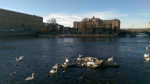 Svanar på Stockholms Ström...